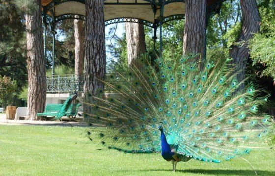 peacock_big