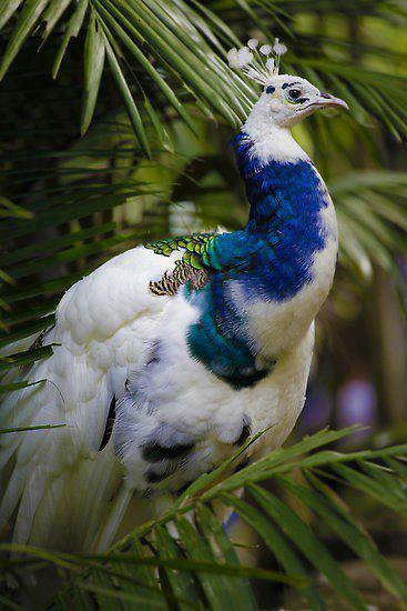peacock_proud